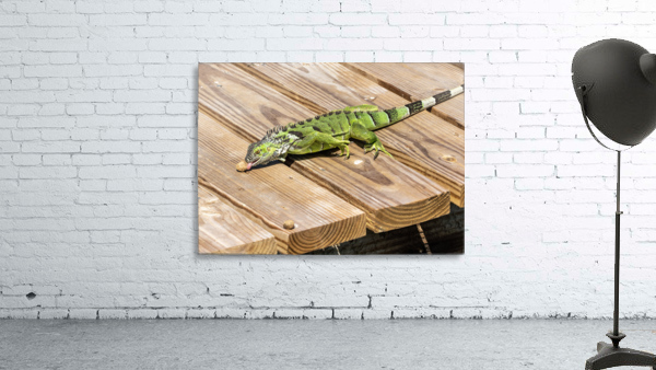 Cayman Green Iguana Snacking