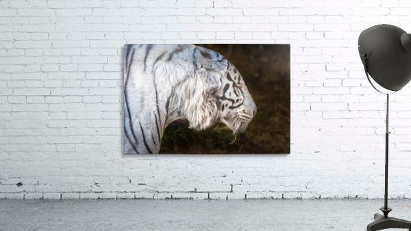 White Bengal Tiger 2