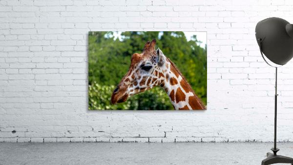 Reticulated Giraffe 1