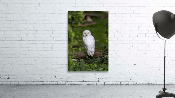 Yellow Eyes  Snow Owl