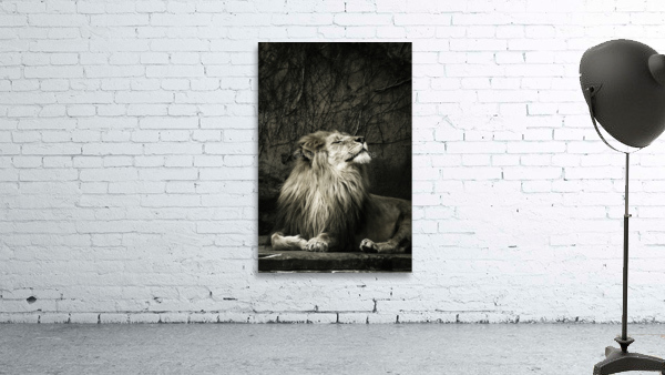 Chill of the Day  Lion