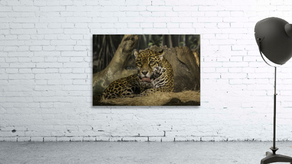 Morning Bath  Jaguar