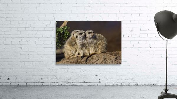 Take Watch  Meerkats