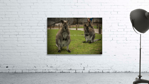Intriguing   Wallaby