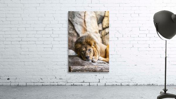 Connection  Lion