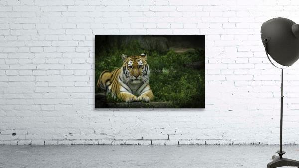 Next Strike  Tiger