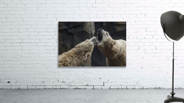 The Fight   Polar Bears