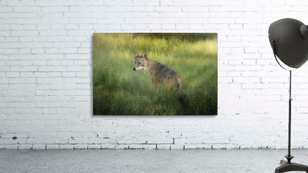 Evening Coyote