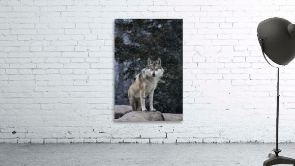 Cold Night Wolf