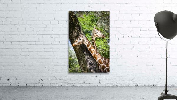Spots Under Shadows  Giraffes