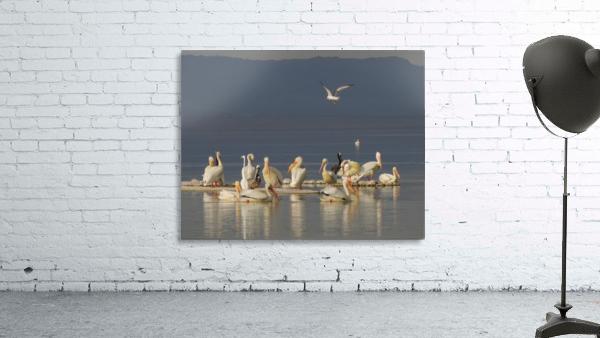 Pelicans of the Salton Sea