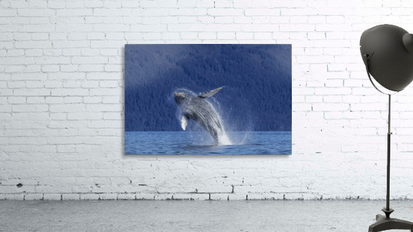 A young Humpback Whale leaps from the calm waters of the Stephens Passage near Tracy Arm, Southeast Alaska, USA.