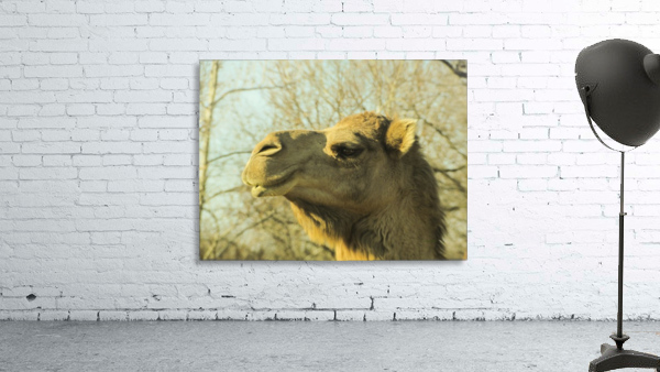 Aribian Camel