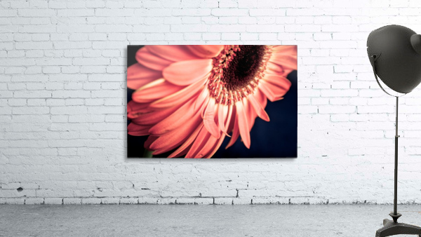 Gerbera flower background