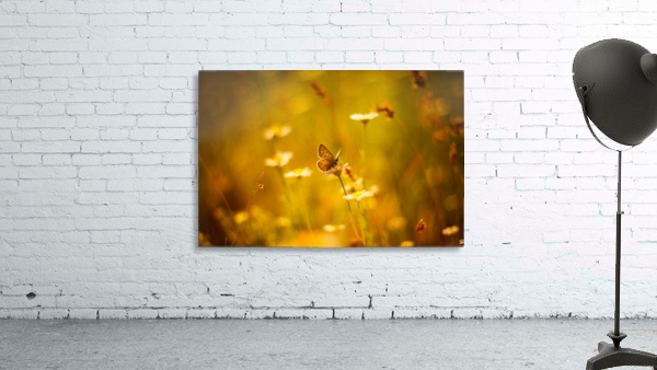Golden sunset. Daisy and butterfly