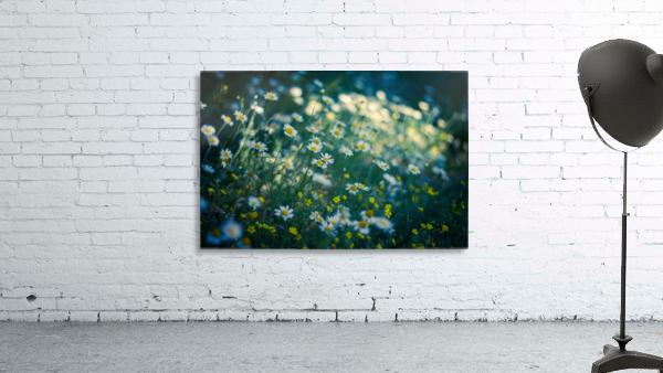 Summer, spring daisy field