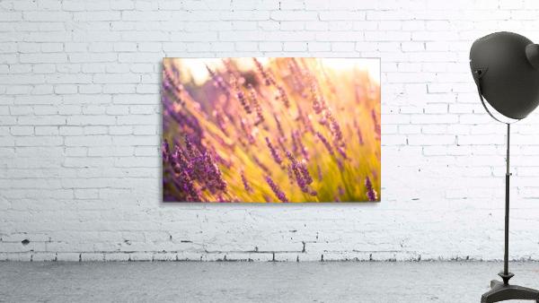 Sunset lavender flowers