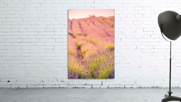 Beautiful Sunset lavender flowers on a field