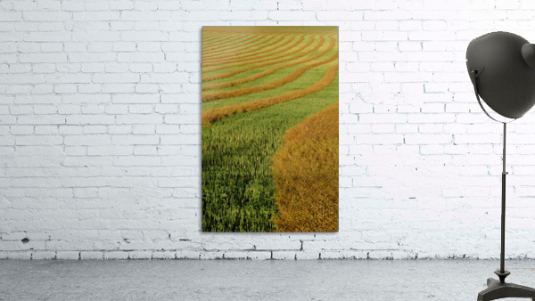 Rows Of Canola Windrows