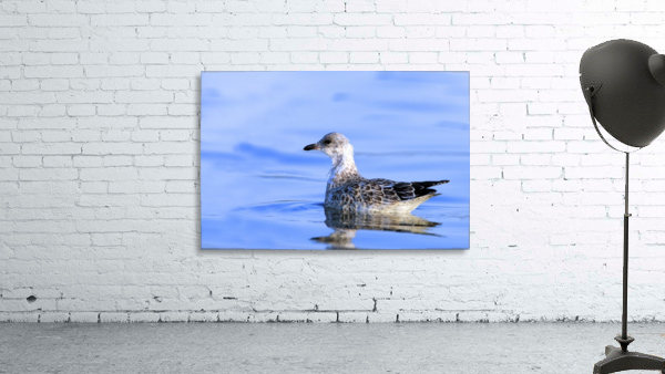 Young Gull Swimming