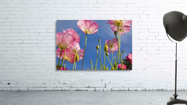 Shirley Poppies (Papaver Rhoeas), Oregon, Usa