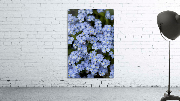 Victoria, British Columbia, Canada; Blooming Blue Flowers