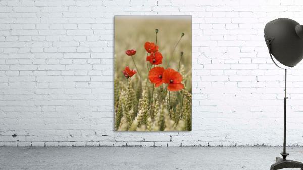Wildflowers; Poppies In A Grain Field