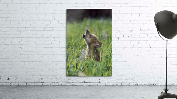 Wolf Puppy Howling In Mountain Meadow