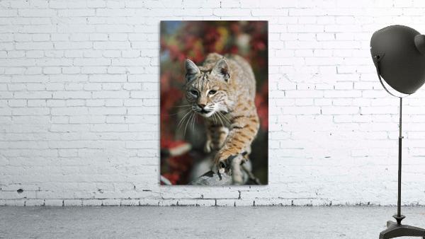 Bobcat (Felis Rufus) Walks Along Branch Through Red Leaves Of A Hawthorn In Autumn; Idaho, Usa