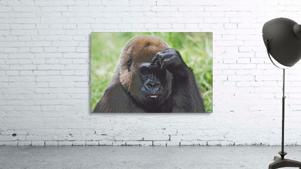 Western Gorilla Portrait With Finger On Brow As If Thinking, Africa