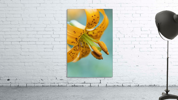 Oregon, United States Of America; A Lily On Mount Hood