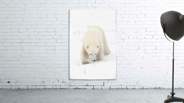 Curious Young Polar Bear (Ursus Maritimus) Exploring; Churchill, Manitoba, Canada