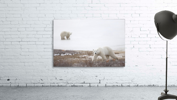 Polar Bears (Ursus Maritimus) Staring Ahead As They Walk Across The Frozen Tundra; Churchill, Manitoba, Canada