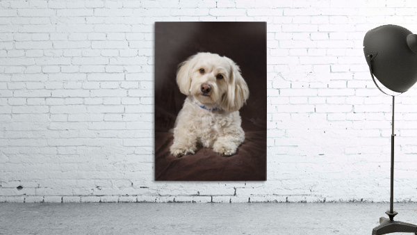 Shih Tzu-Poodle On A Brown Muslin Backdrop