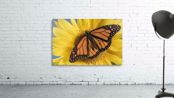 Monarch Butterfly On Sunflower.