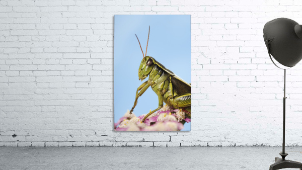 Grasshopper Close-Up.