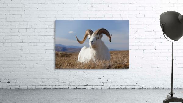 A Dall Sheep Ram Lies On A High Mountain Meadow In Denali National Park And Preserve, Interior Alaska, Autumn