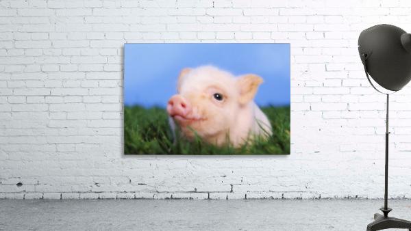Baby pig lying on grass;British columbia canada