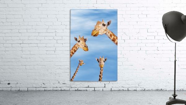 Four giraffes looking downward;Africa