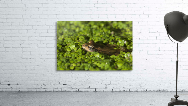 A Red-Legged Frog Rests In Small Plants; Astoria, Oregon, United States Of America