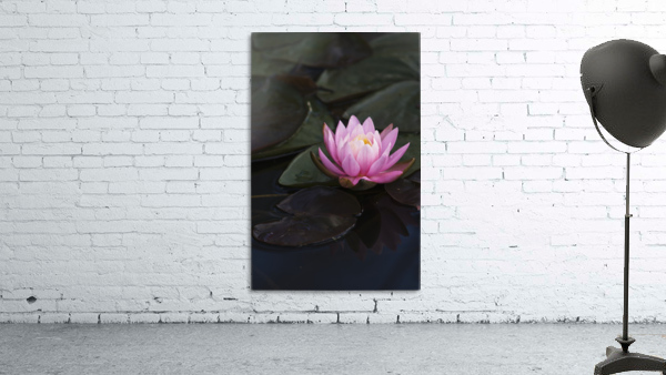 A water lily blooms in a pond; Astoria, Oregon, United States of America