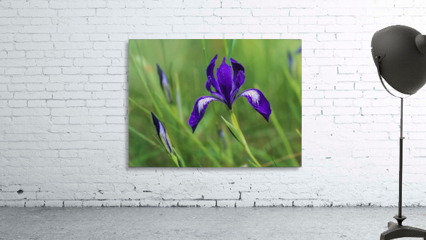 Oregon Iris (Iris tenax) blooms in the forest; Florence, Oregon, United States of America