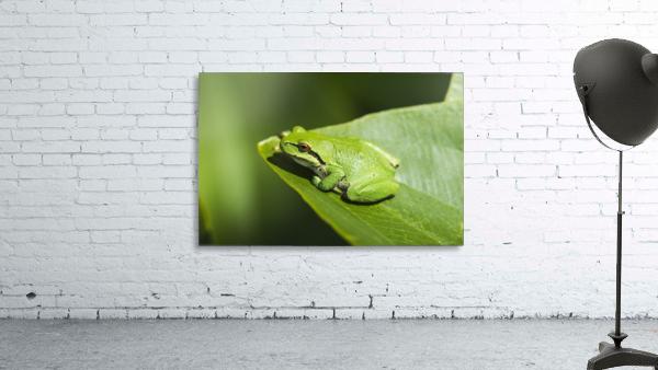 A Pacific Tree Frog (Pseudacris regilla) rests on a Wapato Leaf; Astoria, Oregon, United States of America