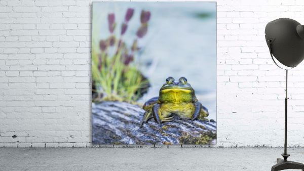 Bull frog (rana catesbeiana) resting on a log beside a lake; Ontario, Canada