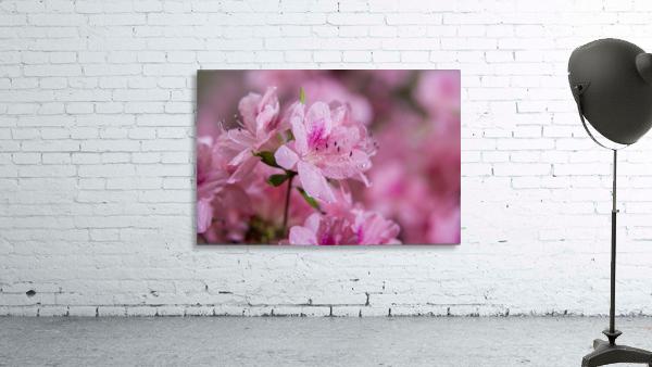 Pericat hybrid azaleas (Mrs. Fisher), Rhododendron (Ericaceae), New York Botanical Garden; New York City, New York, United States of America