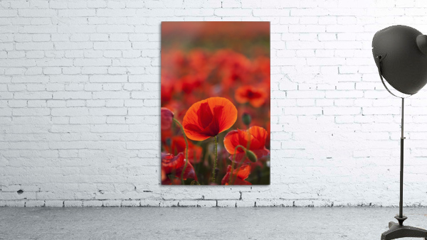 Common Poppy (Papaver rhoeas) covering an arable field; North Yorkshire, England