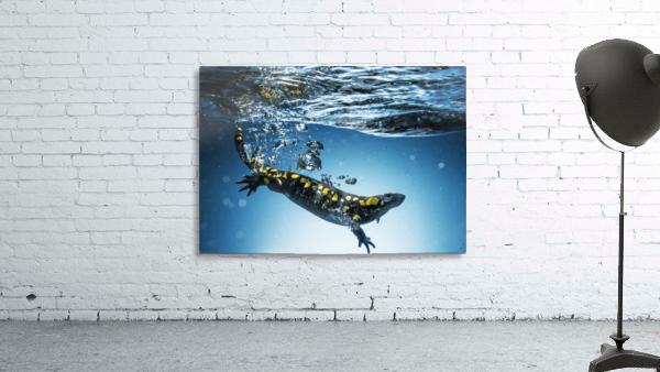 Salamander (Caudata) swimming in water; Tarifa, Cadiz, Andalusia, Spain