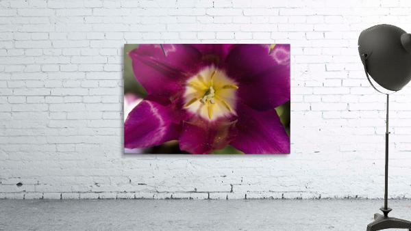 Red tulip, Andre Rieu (tulipa), New York Botanical Garden; New York City, New York, United States of America