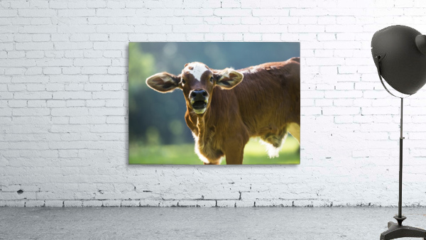 Herford calf bawls for it's mother; Gaitor, Florida, United States of America