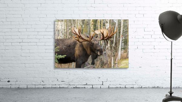Bull moose (alces alces), rutting season; Alaska, United States of America